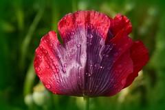 Purple poppy 2 (philwirks) Tags: wcc cricket picnik myfavs luminosity philrichards wirksworth show08 unlimitedphotos sonyalphadslra200