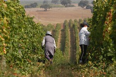 ladiesbacksonhill (Cortes de Cima) Tags: portugal geotagged vineyard harvest grapes alentejo grape cortesdecima luispais geo:lat=38160291 geo:lon=772444