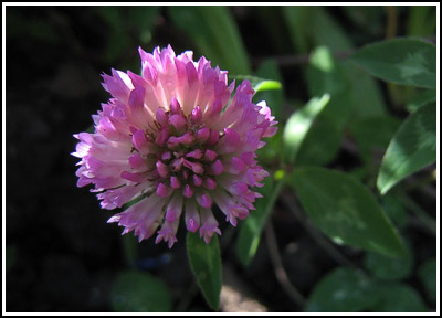 redclover copy