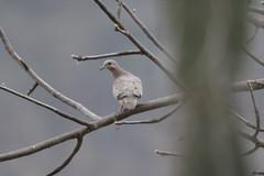 Eared Dove (Zenaida auriculata) (rgibbo3) Tags: eareddove zenaidaauriculata