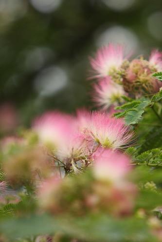 合歓の木。。。Persian Silk Tree