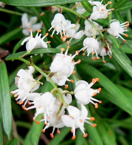 flor de la esparraguera
