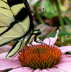 (View Askew) Tags: macro nature butterfly butterflies insects bugs bej brillianteyejewel macromarvels theperfectphotographer throughyoureyes peachofashot flickrflorescloseupmacros