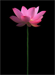 Lotus Flower (Bahman Farzad) Tags: flower macro lotus lotusflower lotuspetal lotuspetals lotusflowerpetals lotusflowerpetal