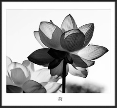 Lotus II  (avirus) Tags: bw flower nature painting asian lotus brush zen frame sumie kenilworthaquaticgardens 70200mm4lis