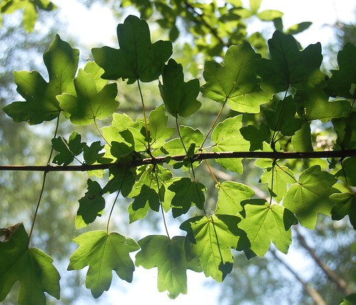 Acer, (field maple)