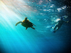 Respect ([ CK ]) Tags: ocean life sea love hope hawaii interestingness others underwater shine respect turtle reptile explore trust wildanimal honu tortuga tartaruga tortue cheloniamydas shinning raysoflight greenseaturtle schildkrte g9   oneanother begentle dontpollutetheocean