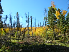 Aspen After Burn Photo