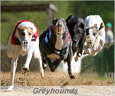 Greyhounds in action!