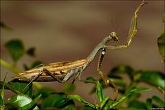 Praying Mantis (Mike.Pursey) Tags: macro k mantis insect pentax praying 100mm 10d vivitar f28 k10d