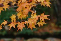 (ddsnet) Tags: autumn plant leaves japan sony autumnleaves   nippon osaka  autumnal nihon 900  backpackers           leaves osakafu autumn  autumn  suitashi leaves sakashi  900
