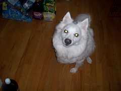 Happy (jumpyfrog0506) Tags: dog white cute male happy fluffy stop american sliding eskimo