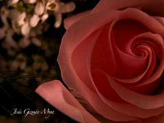 Un Regalo (Jesus Guzman-Moya) Tags: christmas friends naturaleza amigos flower macro nature rose mexico navidad interestingness flor rosa puebla i500 chuchogm jesúsguzmánmoya