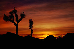 Mojave Sunset Painted in Red and Orange (Bill Wight CA) Tags: billwight joshuatree nationalpark california desert sunset clouds america american americanwest arid aridities aridity barerock barren beautyinnature conservation joshuatrees deserts desolate destination destinations dry dryness ecosystem environment protection managements farwest flora habitat joshuatreenationalpark landform landscape mojavedesert monument nationalmonument northamerica outdoor park preserve reserve rock rockformation rocks rocky rugged scenery scenic sensitivenaturalareas tourism travel traveldestinations tree usa unitedstates unitedstatesofamerica vastness vegetation weathered westernunitedstates wilderness woodyplant yucca yuccabrevifoliasunsetsunrisecoloredsky silhouette
