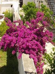 Bougainvillea in full bloom (Gregelope) Tags: flowers colour beautiful textures greece views ellada serenitynow