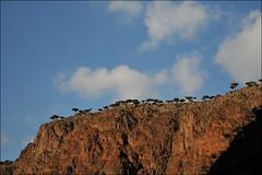 Dixam, Socotra, Yemen (red_ink) Tags: tree dragon yemen dragontree socotra soqotra