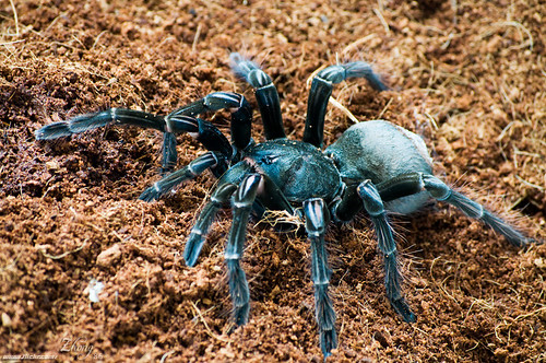 عالم الحشرات - عنكبوت آكل الطير