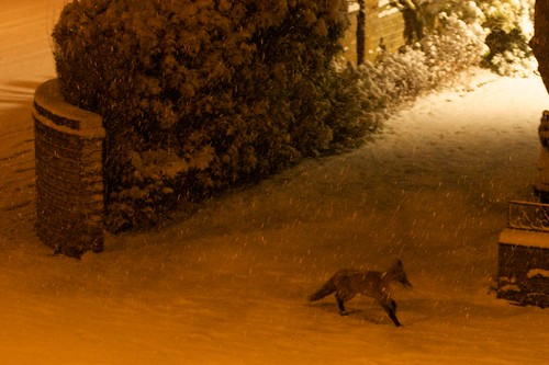 Foxes out in Putney on a snowy eve.