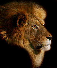 Lionel's Profile (MickiP65) Tags: california africa wild portrait usa male nature face animal animals portraits mammal zoo la us losangeles eyes faces wildlife lion exhibit creation socal lions mostinteresting northamerica lionel lazoo creatures creature 2008 mammals exhibits animalia mammalia mane allrightsreserved losangeleszoo carnivore zoos copyrighted africanlion panthera animalportrait carnivora animalportraits animalfaces pantheraleo felidae chordata animalface kingofthebeasts canoneos30d panteraleo pleo michellepearson 11122008 111208 flickrbigcats nov122008 flickrbigcat