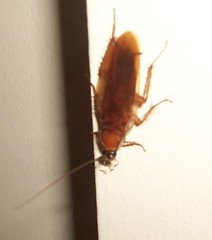 Searching for food (claytonstieffel) Tags: house bugs roach