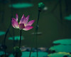 Pink Lotus 1 (DSC9549) (Fadzly @ Shutterhack) Tags: flower macro closeup catchycolors waterlily lotus bokeh nikond50 malaysia pahang terengganu fadzlymubin shutterhack lakecini