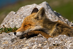 open your eyes.... (flowerpics09) Tags: summer italy nature natur basilicata fox wwe volpe pollino wildwondersofeurope