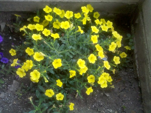 Yellow Calibrachoa by The Virtual Sink