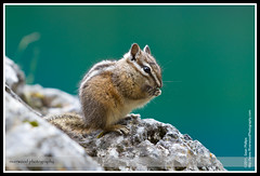 Yellow-pine Chipmunk on the Grassi Lakes Hike