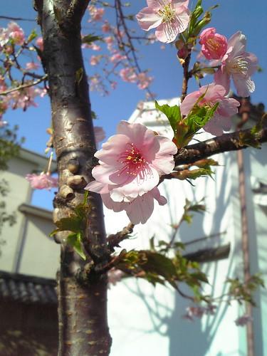 CherryBlossom@912SH4