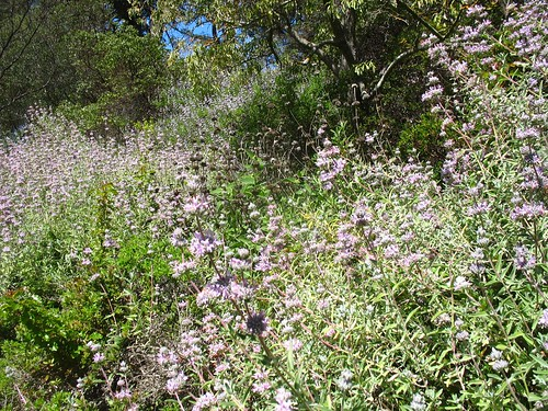 Salvia leucophylla