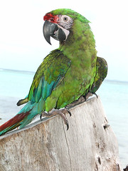 Military Macaw Cash (Dave Womach) Tags: sleeping wet birds shower toucan parrot bathing parrots saipan militarymacaw swainson meaka jamieleigh