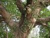 竹山鎮中和里救人老茄苳樹DSCN0171