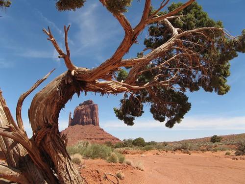 The Worlds 10 Oldest Living Trees Democratic Underground
