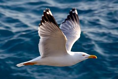 Seagull in flight (cienne45) Tags: friends italy birds ilovenature quote seagull gull liguria arc cienne45 carlonatale natale camogli gabbiani birdwatcher naturesfinest supershot mywinners xploremypix bonzag avianexcellence goldstaraward multimegashot top2008 superphotoex aplusphotoex aphotoex