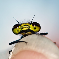 Climb on my fingernail (Andrea&Mike@Flickr) Tags: macro insect dragonfly retro fingernail libelle fingernagel macroextreme anawesomeshot goldenphotographeraward theperfectphotographer