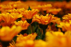 Orange dream.. (...Lisa) Tags: flowers orange sun may lisa nikond80 theunforgettablepictures awesomeblossoms surreo