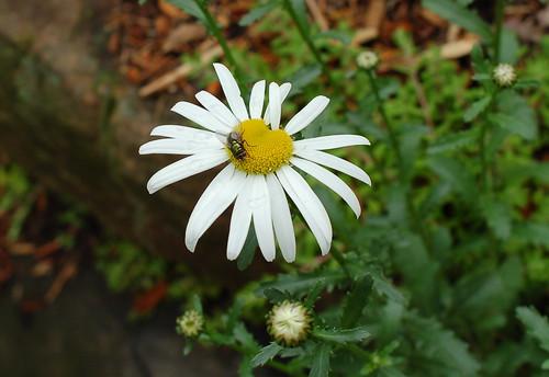 Daisy + fly.
