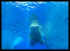 Here she comes (lorainedicerbo) Tags: bear baby water swimming swim zoo underwater play michigan detroit polarbear polar royaloak detroitzoo loraine talini dicerbo itsazoooutthere lorainedicerbo