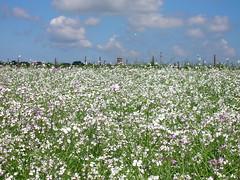 Campo bianco, cielo azzurro (Mackley ♠) Tags: sky nuvole himmel natura cielo fiori skyscapes 2008 topv666 emiliaromagna romagna nikoncoolpix4600 fioribianchi bagnacavallo sanpotito cèu
