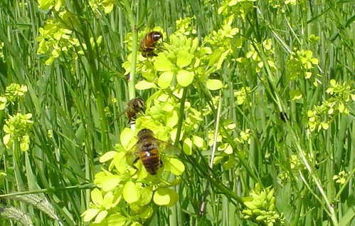 Honeybees at work in a neighbor's barley field