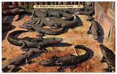 Alligator Farm (jeffeaton) Tags: florida postcard ephemera alligators flickrshop