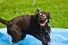WATERDOG (Luc Deveault) Tags: summer dog chien brown canada hot water pool animal fun eau labrador quebec mini spray québec chienne luc été plaisir chaud brun nox piscine éclaboussures stejulie deveault lucdeveault
