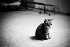 (savemefromme) Tags: blackandwhite bw kitten stable