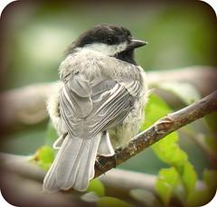 How do you like my new boa (The b flats/Boni) Tags: nature birds thebest chickadees birdwatcher backyardbirds mywinners abigfave citrit rubyaward everydayissunday theperfectphotographer goldstaraward agoldstar multimegashot grrratworks