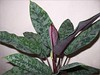 An unidentified Aglaonema hybrid (Chinese Evergreen)