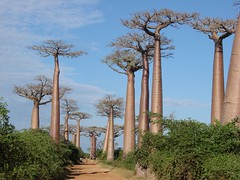 classic photo of the Baobab Alley... (daniel.virella) Tags: nature madagascar morondava baobabs menabe baobabsalley adansoniagrandidieri