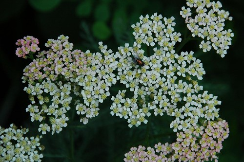 Achillea and Fly