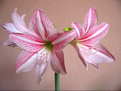 Hippeastrum reticulatum var. striatifolium 'Mrs. Garfield' in our garden