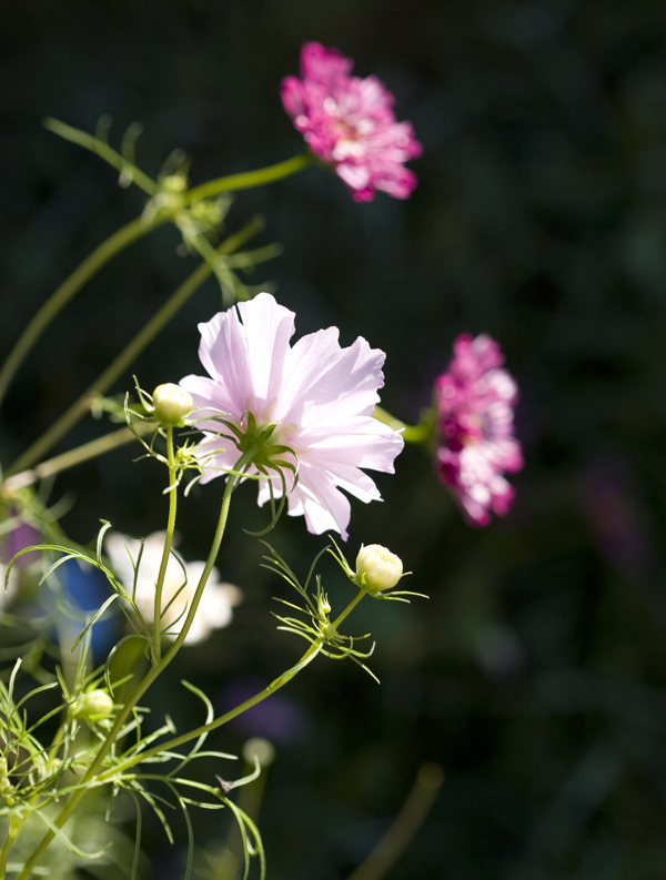 still more ruffled cosmos