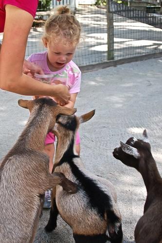 Nina attacked by goats